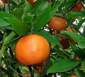mandarinier